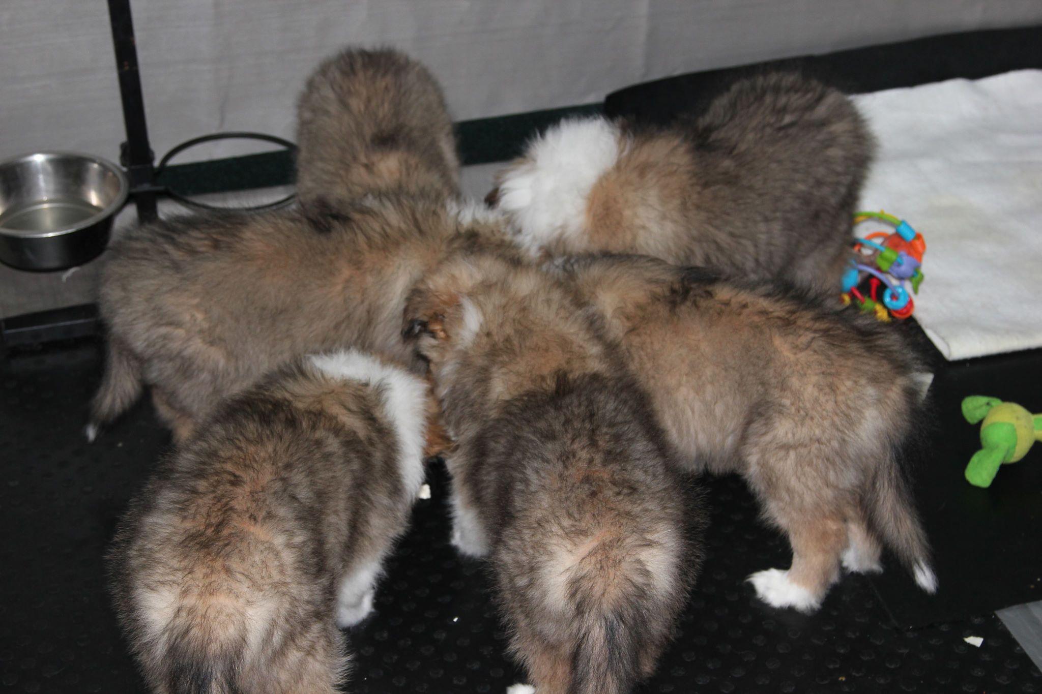 Первые щенки колли
