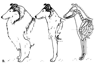 Собака (B)