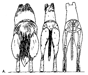 Задние конечности колли