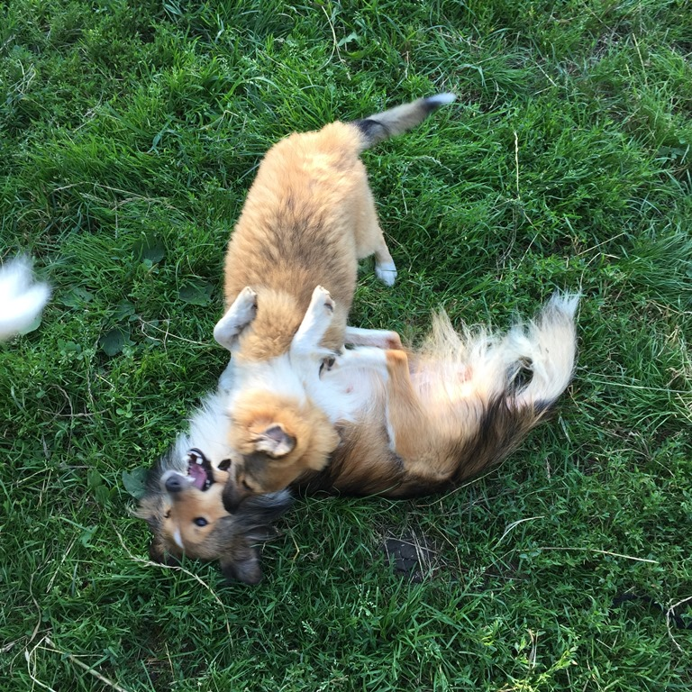 щенки шелти