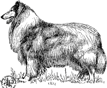 колли - шотландская овчарка