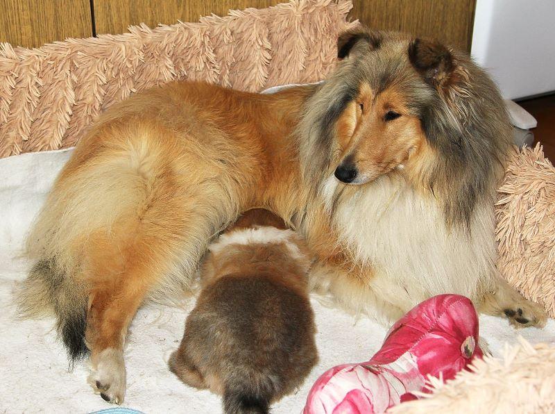 Щенок колли в возрасте 33 дня со своей мамой