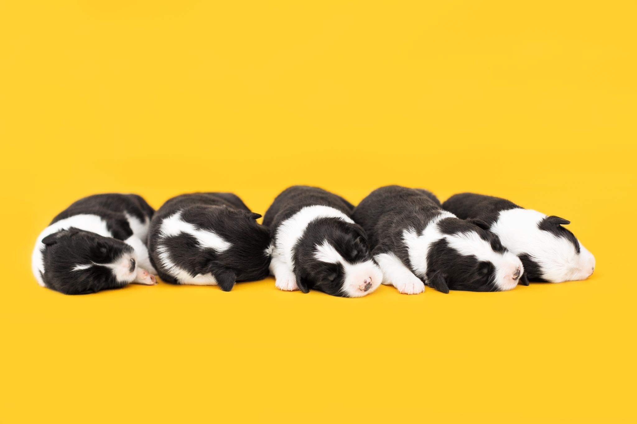 щенки бордер-колли, питомник Maliband